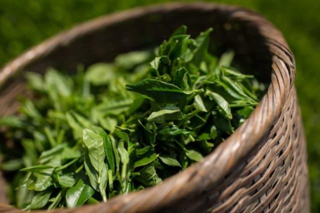 il tè verde può bruciare il grasso della pancia