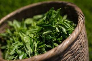 Tè verde: proprietà, effetti benefici e controindicazioni