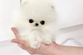 Paris Hilton ha speso 10mila euro per questo cucciolo di Pomeranian