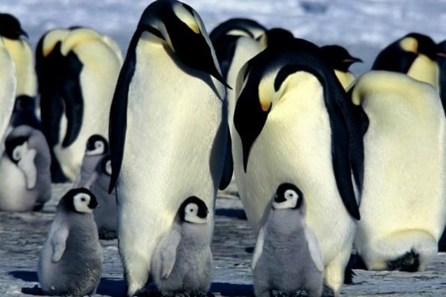 pinguino imperatore censimento via satellite