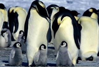 In Antartide ci sono più pinguini di quanto si pensasse