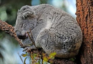 Il koala diventa specie protetta