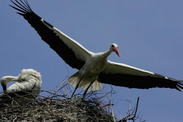 cicogna bianca wwf