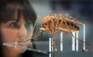Dalle alghe un vaccino contro la malaria