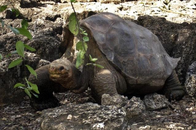 lonesome george tartaruga delle galapagos