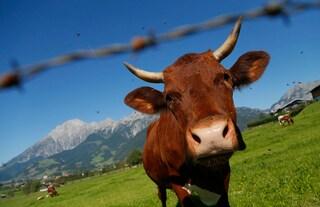 Mucche e maiali OGM per combattere allergie e aterosclerosi