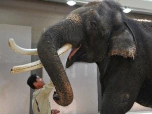 koshik elefante che parla