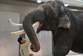 Koshik, l'elefante che parla con la proboscide
