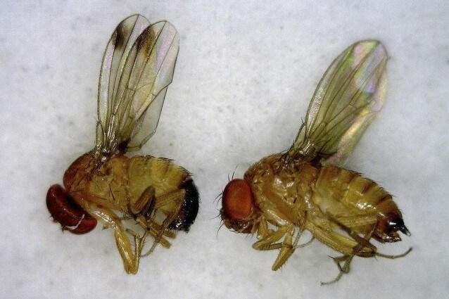 il moscerino della frutta dimentica per riuscire a sopravvivere