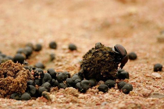 scarabeo stercoraro segue la via lattea