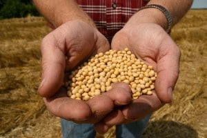 I semi ogm della Monsanto devono essere sempre acquistati dal produttore, essendo soggetti a brevetto industriale.