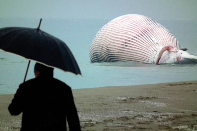 La maxi balena ritrovata morta sul litorale a Pisa