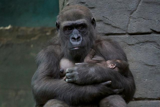 Russia Gorilla