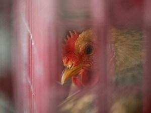 Allarme aviaria in Cina