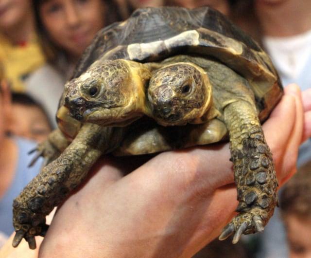 Janus, tartaruga a due teste dello zoo di Ginevra (2007).