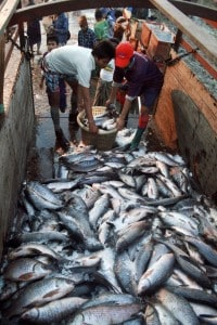 Le riserve ittiche mondiali sono al collasso, nonostante gli allevamenti di acquacoltura.