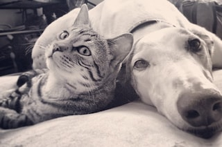 Borys il gatto bengala e Walter il levriero sono gli amici del cuore più belli di sempre (FOTO)