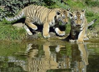 Il tuo gatto è una tigre per il 96%