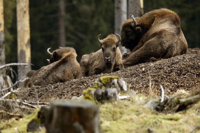 Bisonti europei (Bison bonasus) in un bosco della Germania