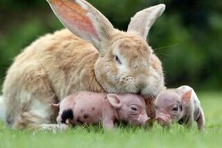 Due foto del coniglietto che si prende cura di due maialini