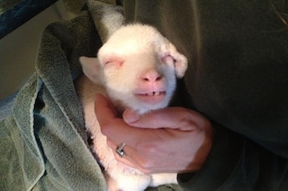 34 motivi per innamorarsi dell'agnellina Maisie (FOTO)