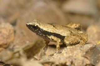La rana senza orecchie che sente con la bocca