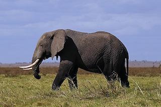 """L'elefante sempre più """"umano"""""""