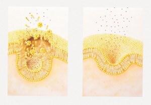 La gemmazione (a destra) e la fusione (a sinistra) delle vescicole all'interno delle cellule.