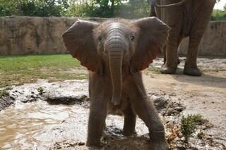 """Verso la """"corsia preferenziale"""" per elefanti nelle città africane"""