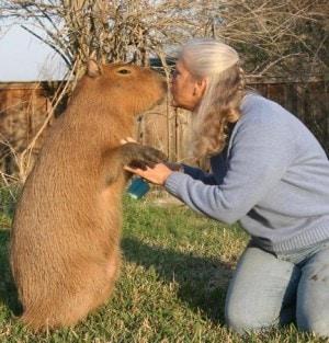 Le dimensioni della capibara (foto di Betulla)