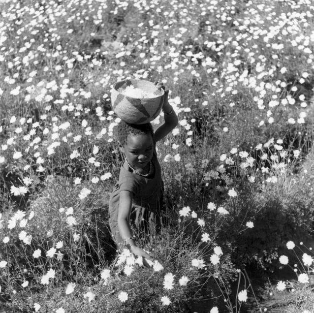 Tanzania, 1955: una bambina raccoglie fiori il cui estratto servirà per realizzare il piretro, insetticida naturale noto fin dall'antichità. Furono gli insetticidi sintetici di seconda generazione a rivoluzionare l'approccio alle malattie da punture di insetto.