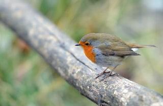 Senti più uccelli cinguettare? È l'effetto della quarantena