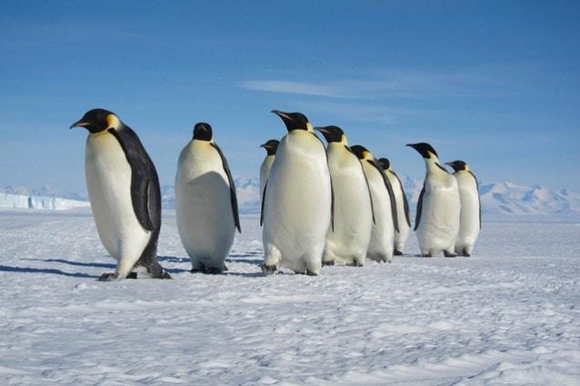 Pinguini imperatore (Foto da Flickr).