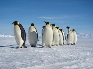 Il pinguino imperatore rischia l'estinzione (FOTO)