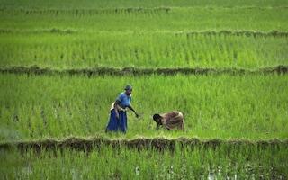 Nel riso africano c'è la chiave per salvarci dalla siccità?
