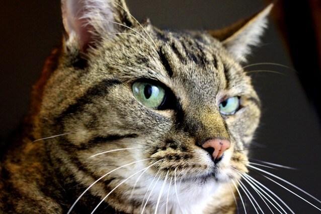 Il gatto ci parla, ma noi lo capiamo?