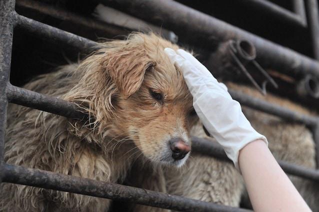 Gli animalisti cinesi combattono contro il consumo di carne di cane