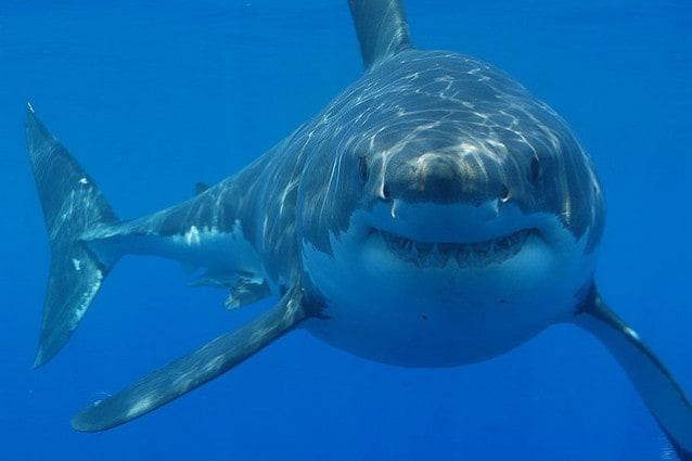 Amici per le pinne: anche gli squali hanno le loro simpatie