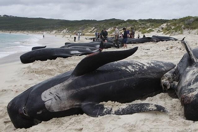 Ogni anno migliaia cetacei perdono la vita sulle nostre rive