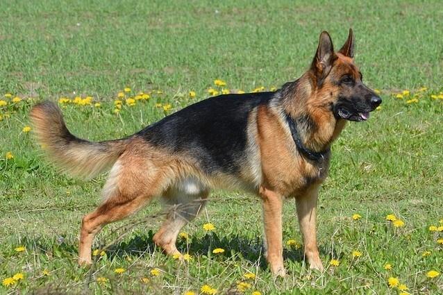 Il cane da pastore tedesco nasce in Germania a fine '800