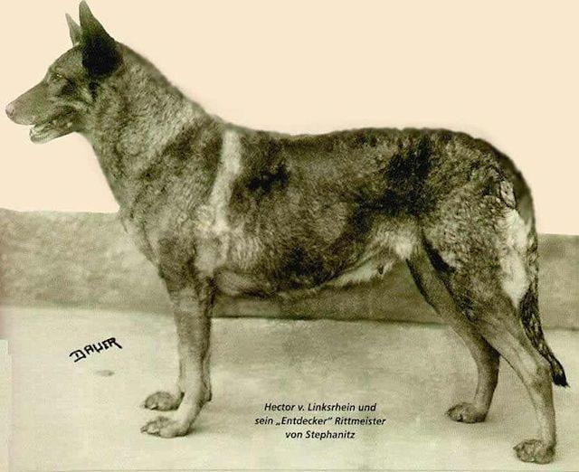 Hecktor Linksrheim potrebbe essere il padre dei pastori tedeschi