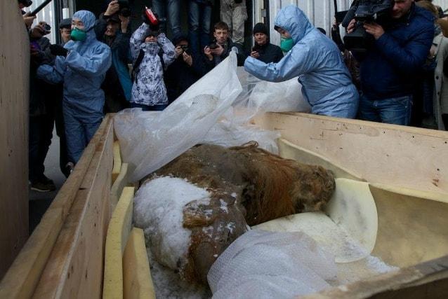 """Membri dello della Russian Geographic Society """"spacchettano"""" il corpo del mammut per l'esposizione di Mosca"""