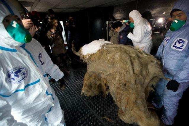 Gli scienziati sostengono che Yuka sia il mammut meglio conservato dell'intera storia della paleontologia
