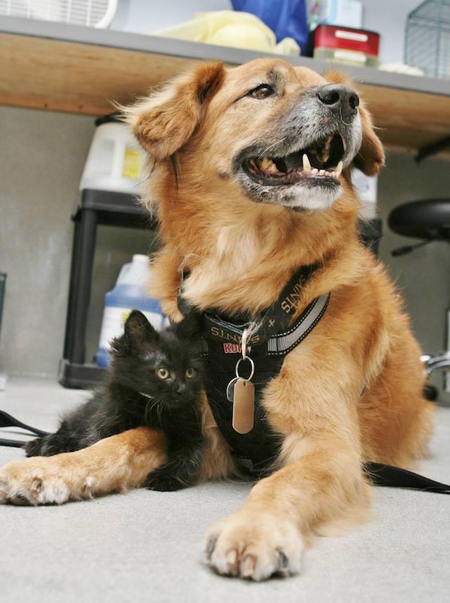 I gattini conoscono i cani grazie a Boots