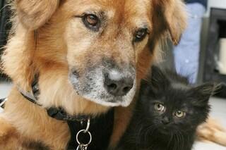Boots, il cane salvato dall'Uragano Katrina che accudisce i cuccioli di gatto