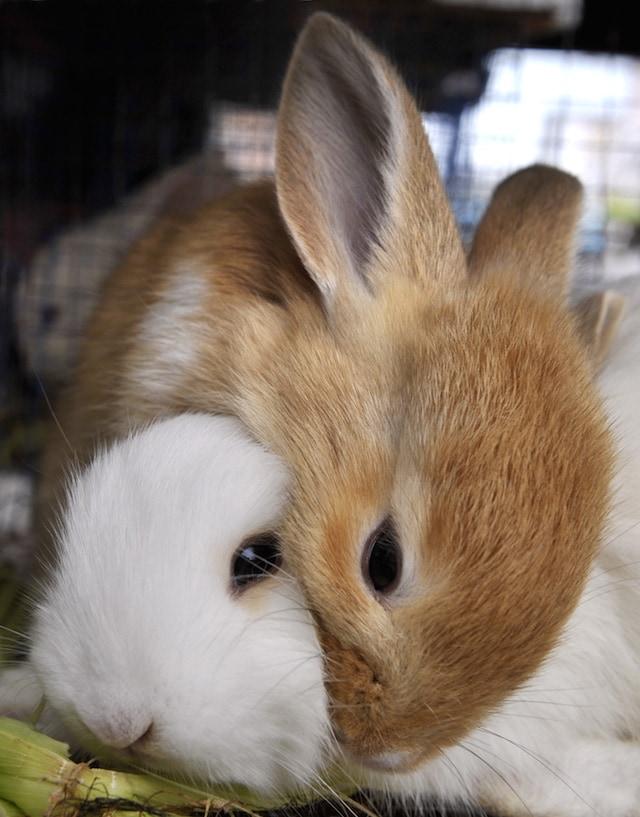 I conigli sono animali coraggiosi nel loro ambiente
