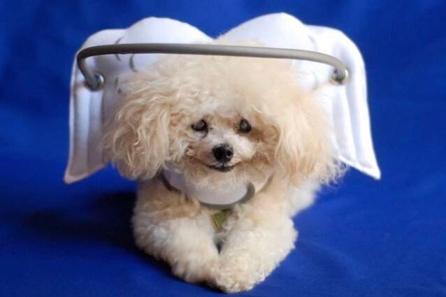 Il Muffin's Halo è un supporto che aiuta i cani ciechi
