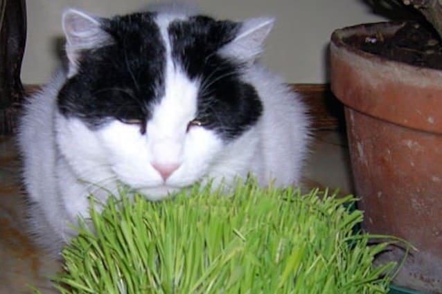L'erba gatta è una droga per i gatti