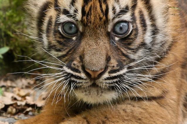 Tigre di Sumatra