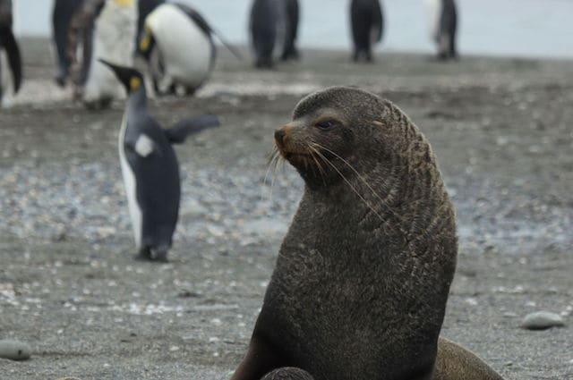 Pinguini Reali e otarie dividono lo stesso territorio